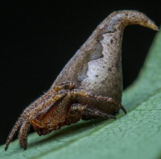 The Eriovixia gryffindori, so named for its resemblance to the sorting hat in the Harry Potter series