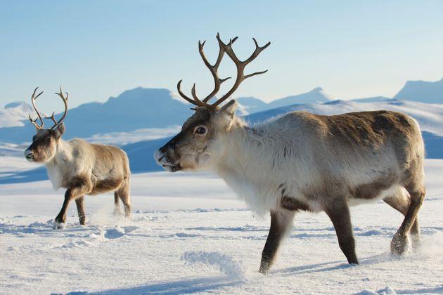 Reindeers in natural environment, Tromso region, Northern