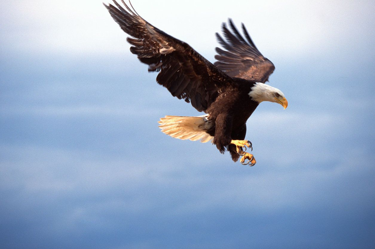 A bald eagle in flight. It's unclear whether this bird is a