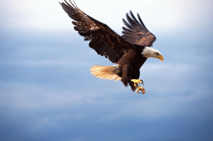 """A bald eagle in flight. It's unclear whetherthis bird is a """"landfill specialist,"""" but someeagles use landfills as"""