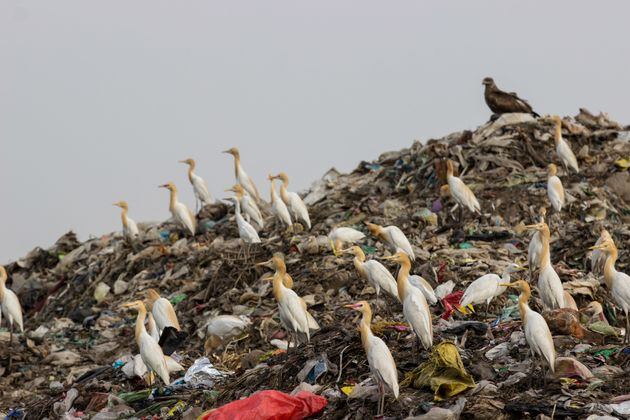 Cattle egrets scout for food at a landfill in