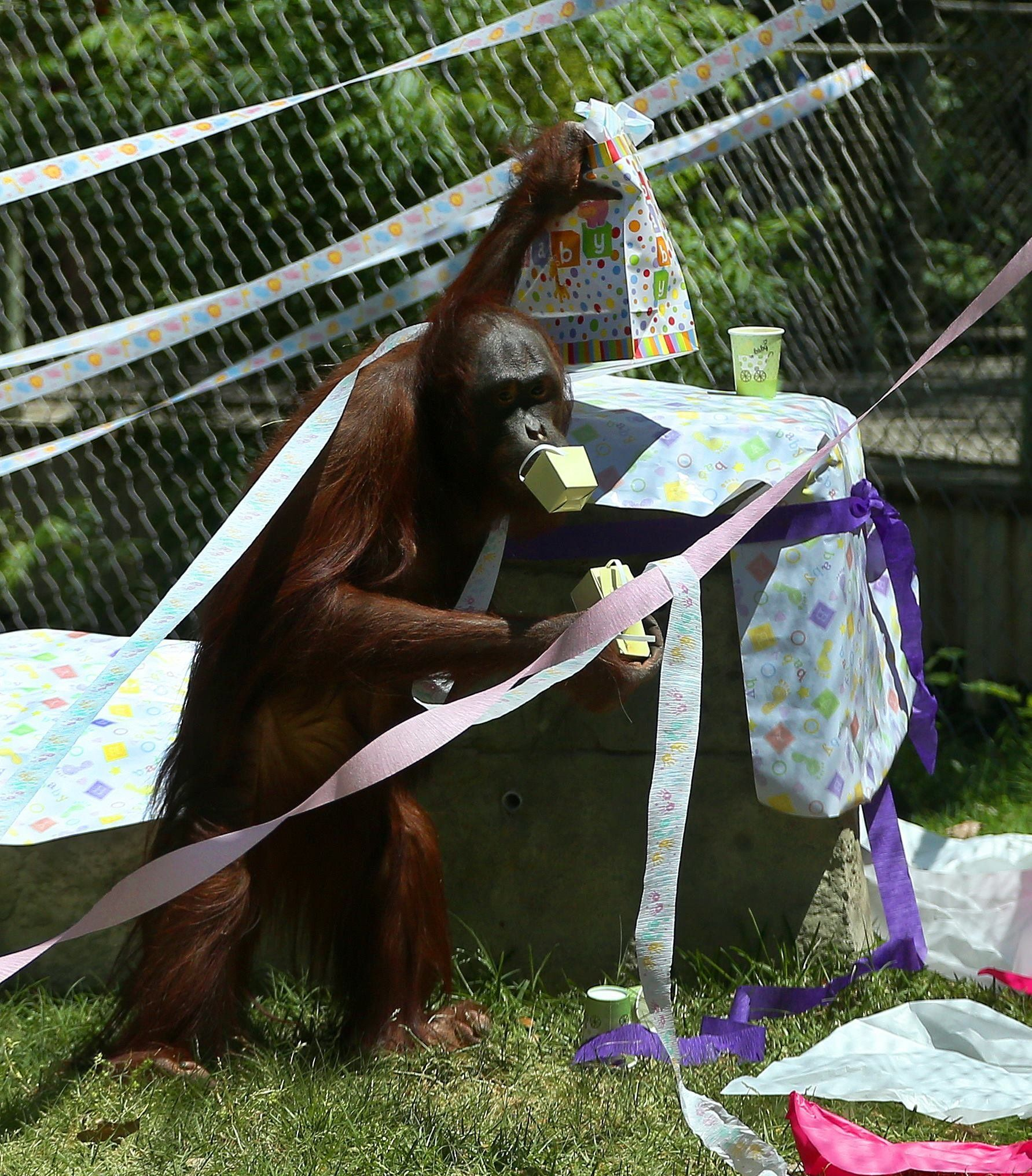 This Pregnant Orangutan Is Having A Baby Shower, Registered At Target