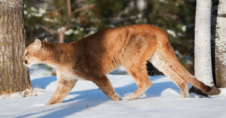 A large mountain lion (Puma concolor) hunting in winter. Cougar populations in North America have been expanding.