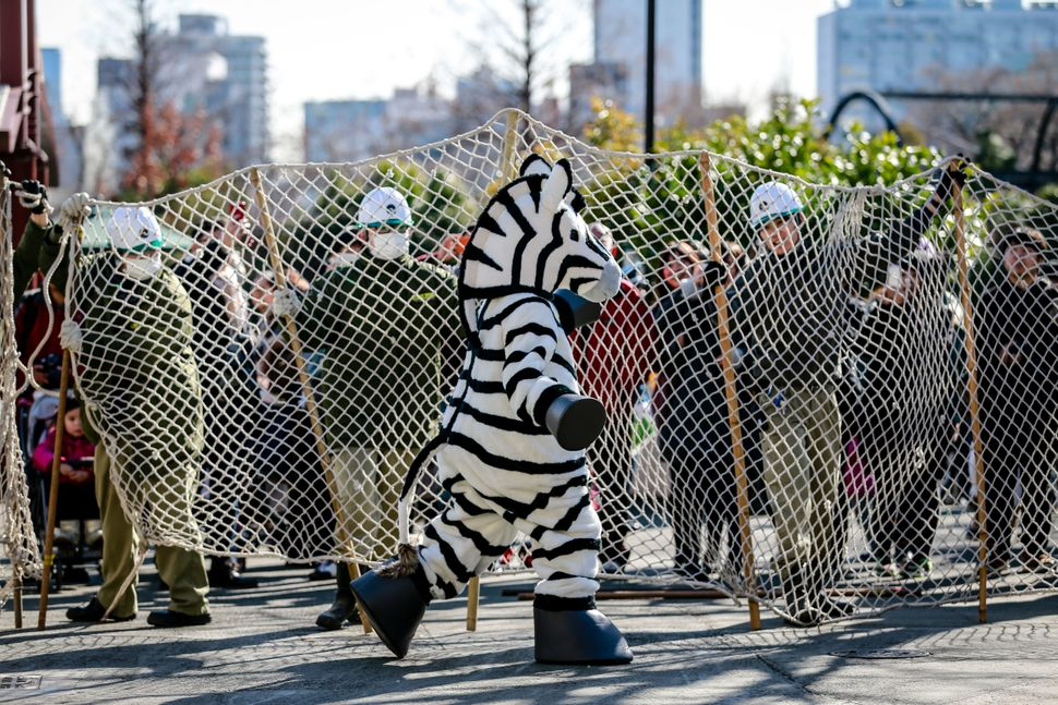 Zookeepers hold up a large net barricade to capture a zoo staff member dressed as a zebra at Ueno Zoo on Feb. 2 in Tokyo.&nbs