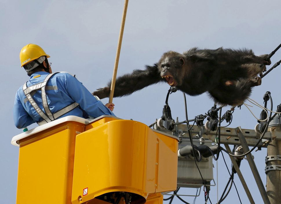 Male chimpanzee Chacha screams after escaping from nearby Yagiyama Zoological Park as a man tries to capture him on the power