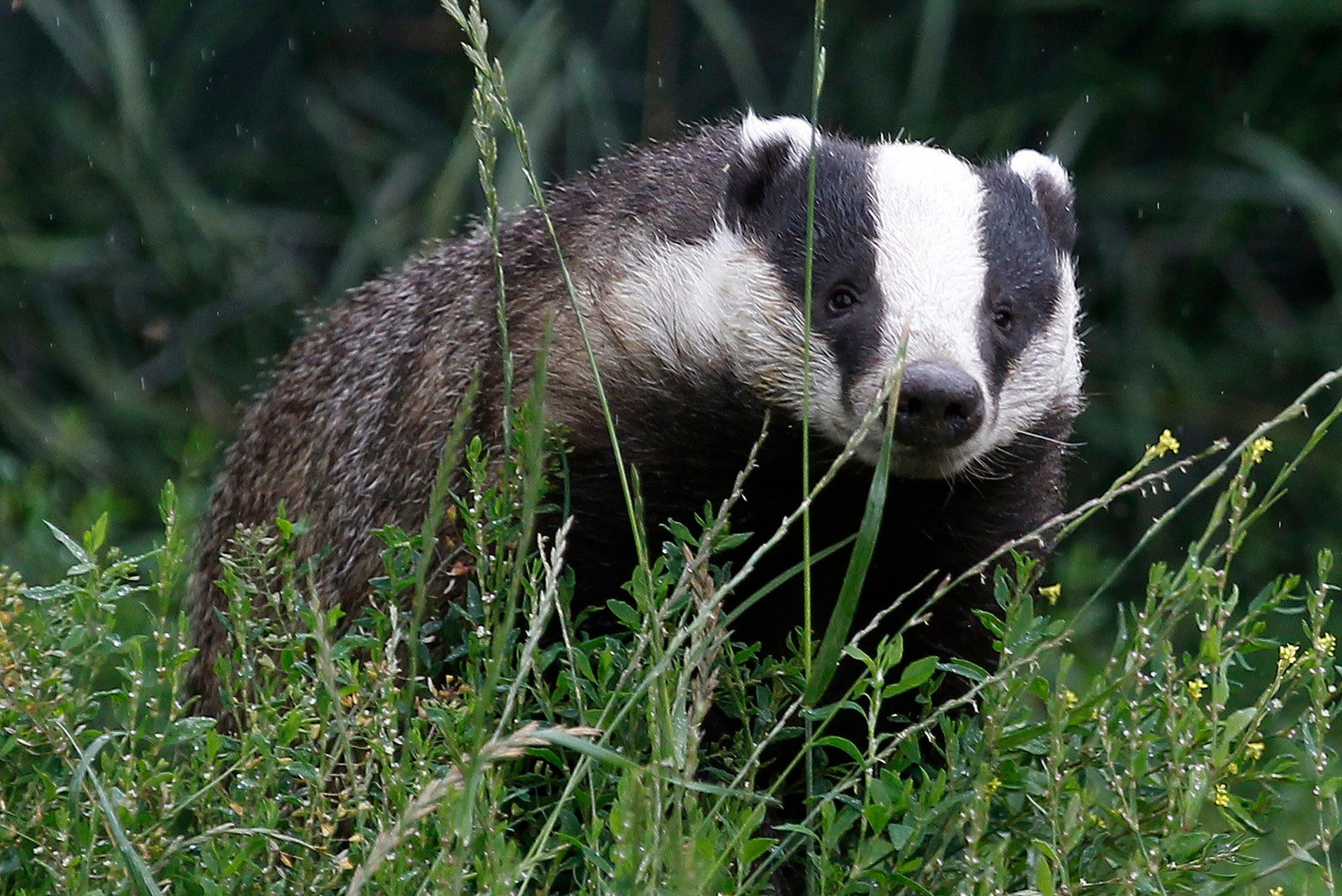 Since there's no practical way to first test whether or not a badger is actually infected with...