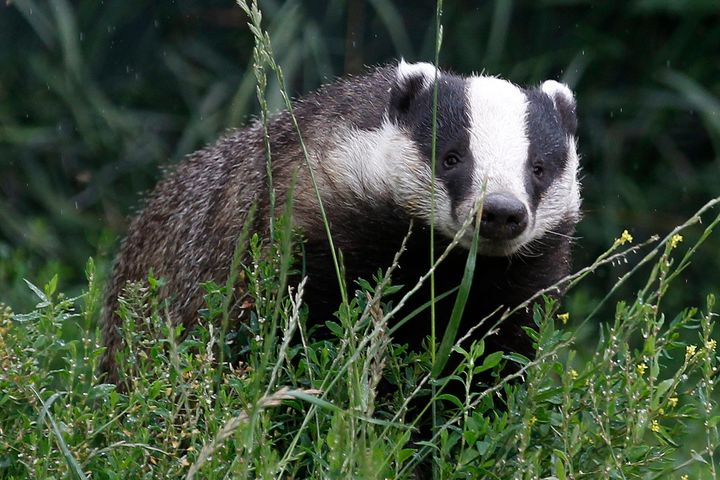Since there's no practical way to first test whether or not a badger is actually infected with TB, the culls inevitably