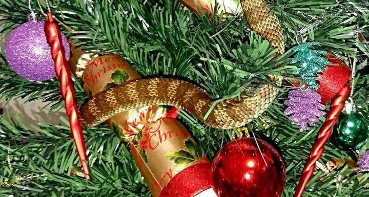A woman found a venomous tiger snake curled around her Christmas tree in Melbourne, Australia, over the weekend.