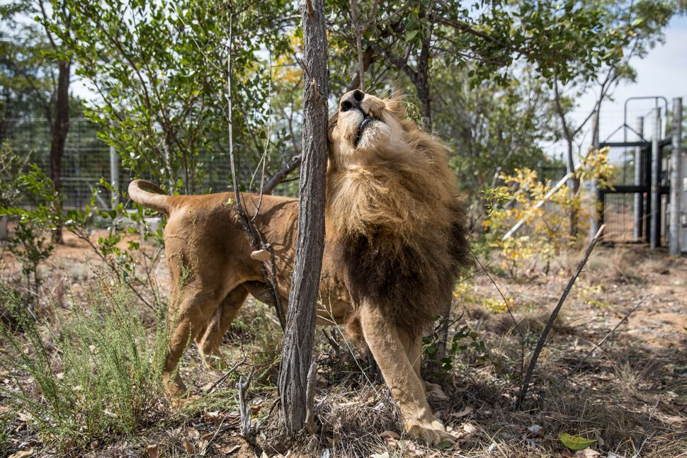 One of 33 lions enjoys his new enclosure at the Emoya Big Cat Sanctuary on May 1 in Vaalwater, South Africa. A total of 33 fo