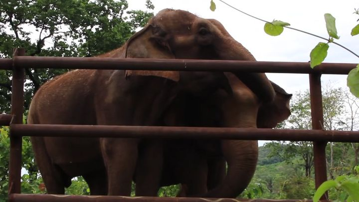 "Maia and Guida embracing each other at <a href=""http://www.globalelephants.org/elephant-sanctuary-brazil-2/overview/"" target="