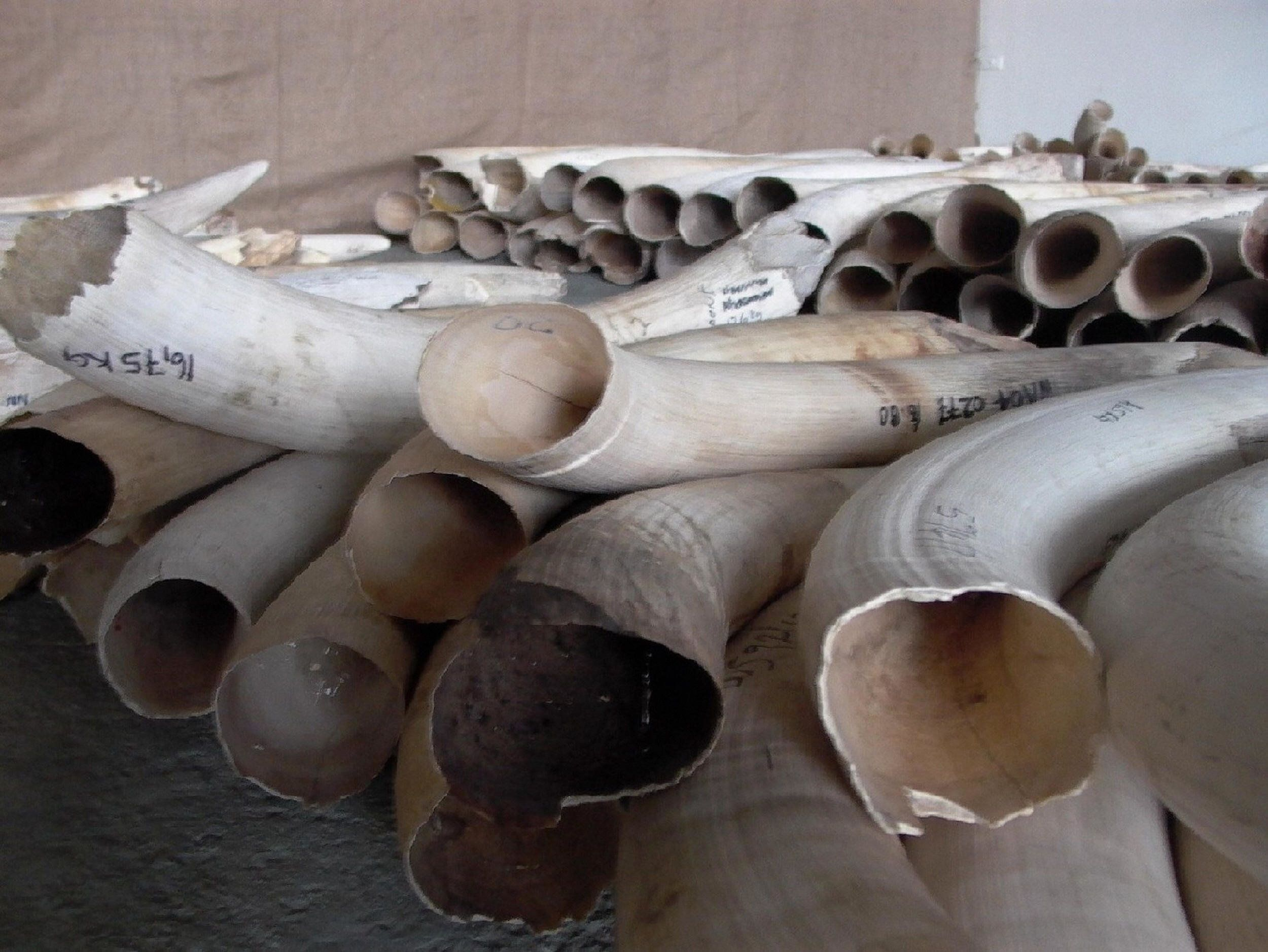 Tusks are displayed on October 28, 2008 in Windhoek during the first legal auction of elephant tusks in nearly a decade -- exclusively for Chinese and Japanese buyers.  The sale, where seven tonnes of ivory were sold for 1.1 million dollars, kicked off two weeks of auctions across southern Africa that will put 108 tonnes of tusks on the block, in a one-off sale to the Asian powers. Four African countries have been authorised by CITES, the international convention that regulates trade in endangered species, to hold the sales only to China and Japan. AFP PHOTO / Brigitte Weidlich (Photo credit should read BRIGITTE WEIDLICH/AFP/Getty Images)