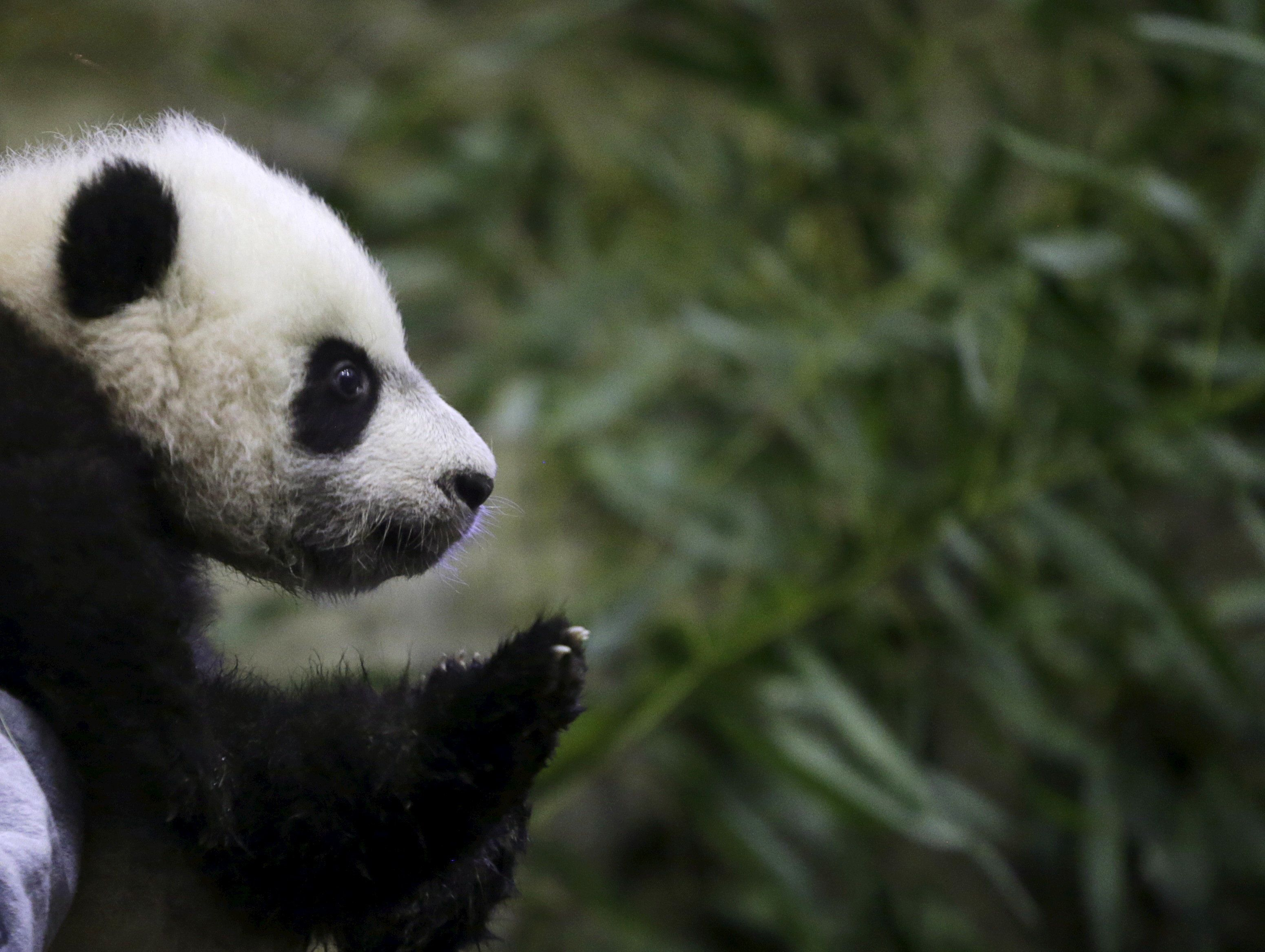 Giant Panda cub Bei Bei is shown to the media at the Smithsonian National Zoo in Washington December 16, 2015. Bei Bei is four months old and weighs 17 pounds.     REUTERS/Gary Cameron