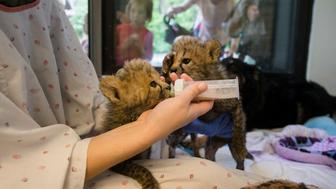 Nursery Keeper Michelle Kuchle feeds cheetah cubs in a nursey while visitors looks on at the Cincinnati Zoo & Botanical Gardens, Friday, April 29, 2016, in Cincinnati. Three of the zoo's four cubs were born prematurely on March 8 as part of a breeding program for the endangered big cats, requiring round-the-clock care and hand feeding. The fourth is an orphan from Oregon who's mother could not produce enough milk to feed him. (AP Photo/John Minchillo)