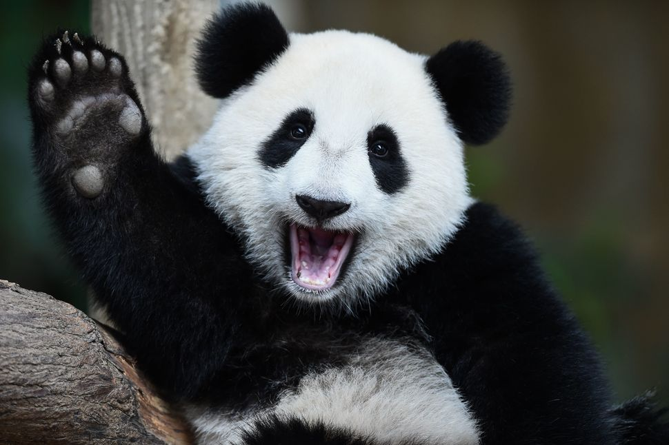 One-year-old female giant panda cub Nuan Nuan reacts inside her enclosure during joint birthday celebrations for the panda an