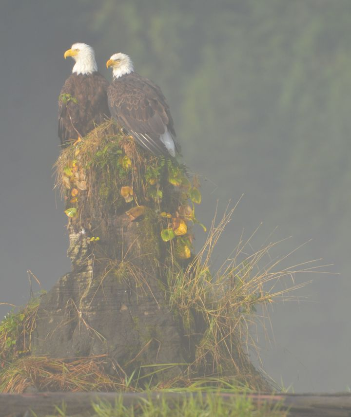 Bald Eagles in the Mist