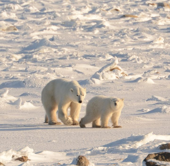 Polar Bear Mother and Cub Waiting for the Ice to Form