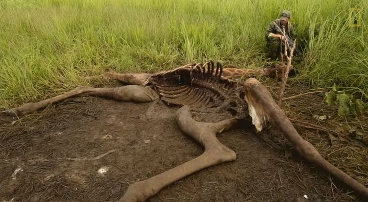 One of the giraffe carcasses found in Garamba National Park in July.