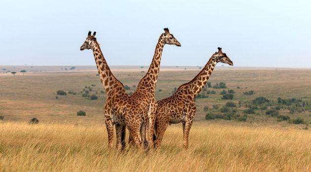 Three Masai giraffes in