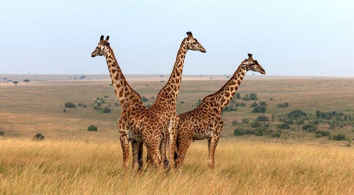 Three Masai giraffes in Kenya.