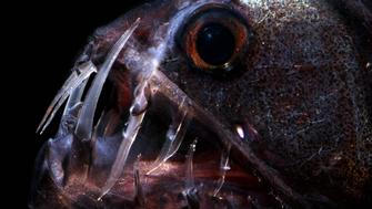 The Pacific Viperfish (Chauliodus macouni) is a deep water predator. The teeth of this species pierce and hold prey. A row of photophores lines the belly just above an area of clear gelatinous tissue. Prey items include fish, crustaceans and cephalopods. T