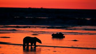 CANADA - 2000/01/01: Canada, Manitoba, Near Churchill, Tundra, Polar Bear Silhouetted At Sunset, Polar Bear (ursus Maritimus). (Photo by Wolfgang Kaehler/LightRocket via Getty Images)