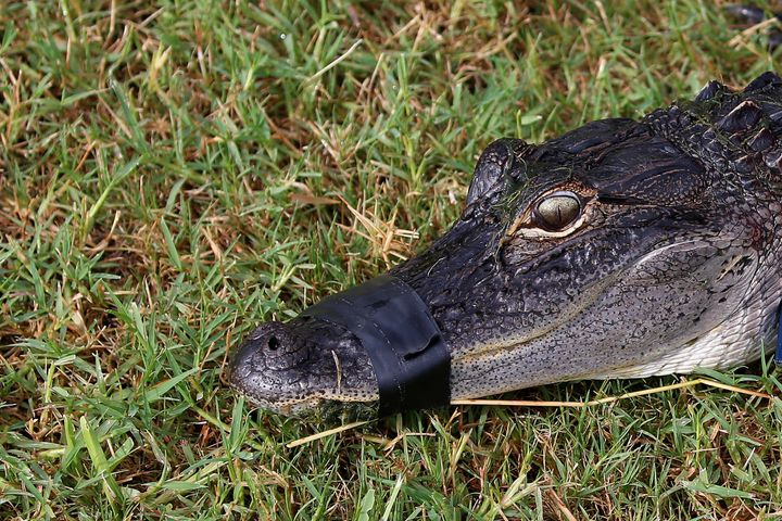 An alligator with its mouth taped shut. This is what Donald Trump wants to do to the ingratiating influence-peddlers of Washi