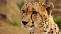 Cheetahs Are Far Closer To Extinction Than We