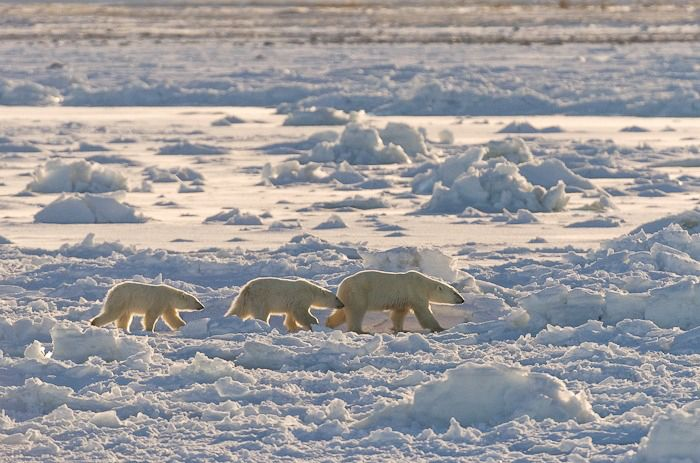 A late freeze-up on Hudson Bay delayed the return of the area's polar bears to their seal-hunting grounds. The implications g