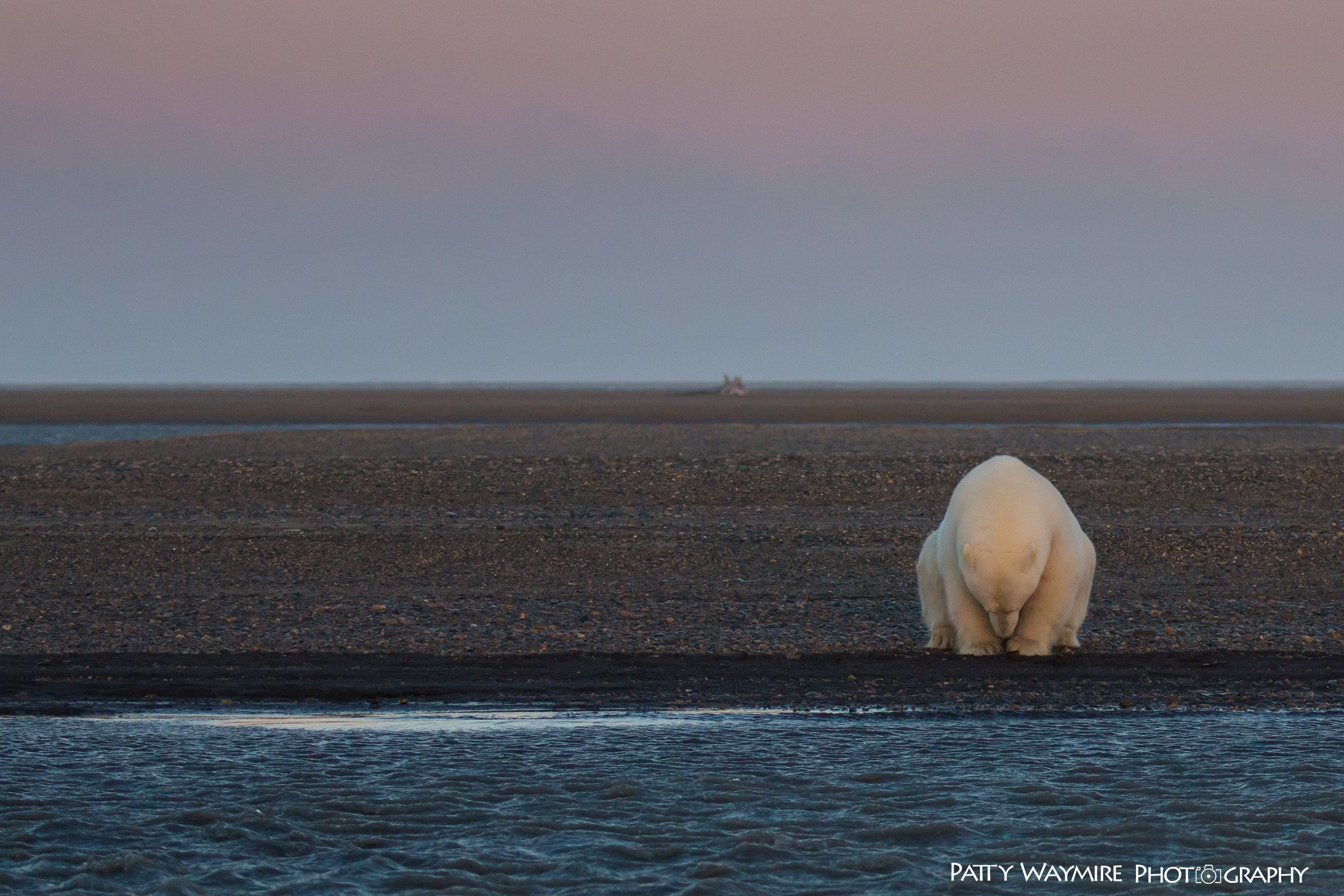 """Patty Waymire says she shot """"No Snow, No Ice""""after being struck by how """"contemplative"""" the bear appeared to her."""