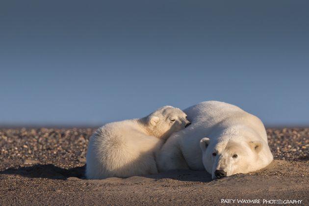 A polar bear mother in cub, Alaska,
