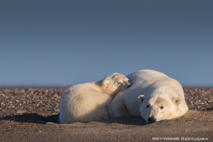 A polar bear mother in cub, Alaska, 2016.