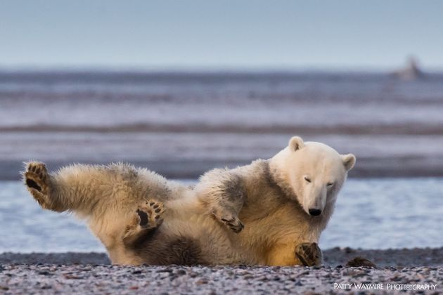 A polar bearin Alaska,