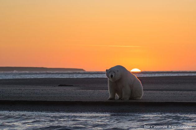 A polar bear at sunset,