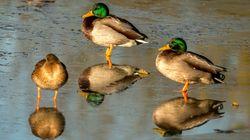 Bird Flu Cases Confirmed In Wild Ducks In