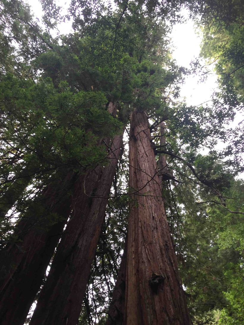 The glorious redwoods of Muir Woods National Monument.