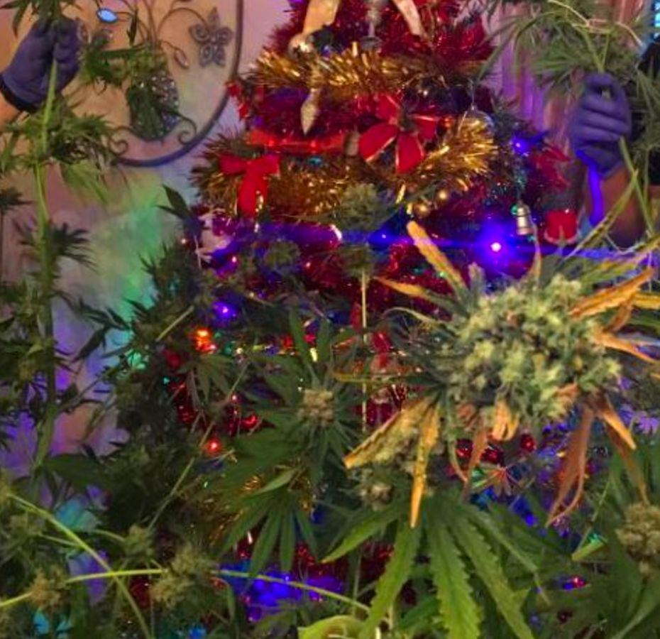 Cops Seize Cannabis Plant Decorated As A Christmas