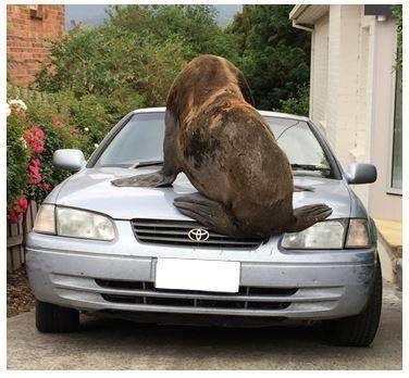 巨大オットセイはトヨタ車を点検(画像)