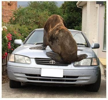 """""""Mr. Lou-Seal"""" inspects a Toyota."""