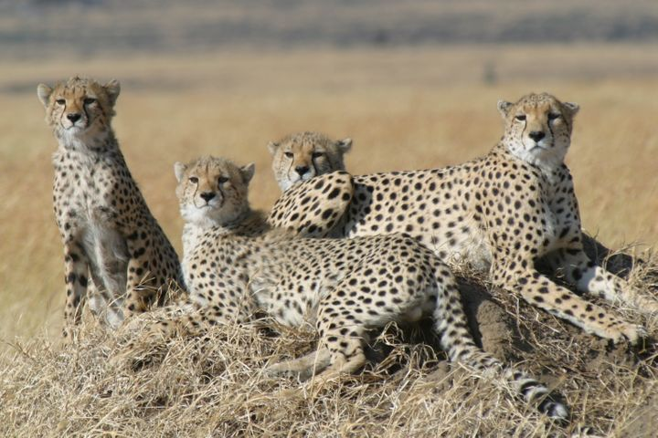 Environmentalists say cheetahs have slipped through the cracks of conservation efforts.
