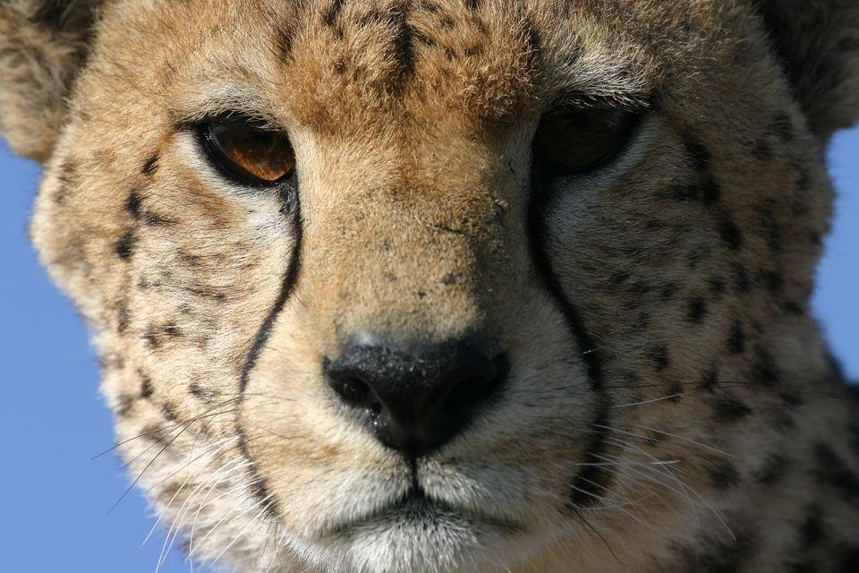 A Cheetah pictured during one of the Institute of Zoology's Field Conservation projects in Tanzania, 2005.