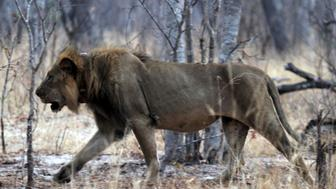 A lion wears a tracking collar as it walks inside Zimbabwe's Hwange National Park in Hwange, October 15, 2015. The park was home to country's most famous lion, Cecil, killed by US Dentist Walter Palmer in July. REUTERS/Philimon Bulawayo