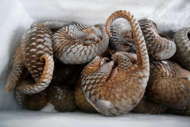 Frozen pangolins seized during a raid in Vietnam. The scales are prized in traditional medicine, but...