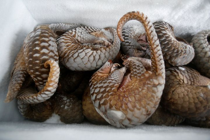 Frozen pangolins seized during a raid in Vietnam. The scales are prized in traditional medicine, but are made from the same b