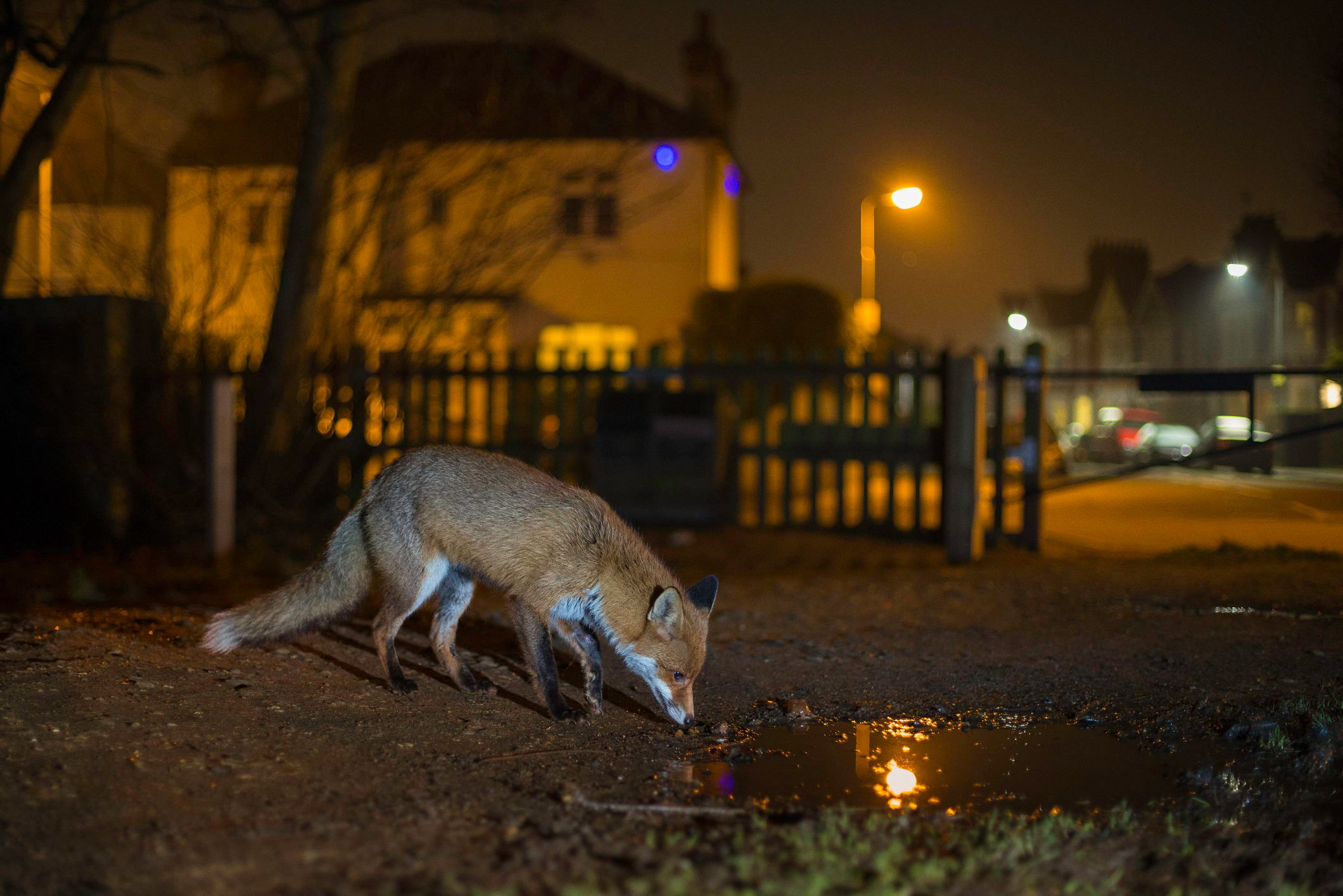 Hundreds of foxes could potentially be culled in the new