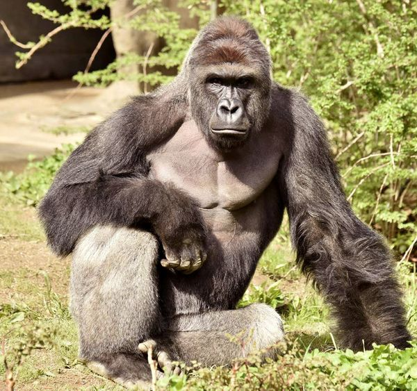 Harambe, a 17-year-old gorilla at the Cincinnati Zoo, was shot and killed earlier this year when a child fell into the a