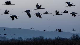 A picture taken on December 07, 2016 shows Gray Cranes flocking at the Agamon Hula Lake in the Hula valley in northern Israel. More than half a billion birds of some 400 different species pass through the Jordan Valley to Africa and go back to Europe during the year. Some 42,500 Gray Cranes stayed this winter in the Agamon Hula Lake instead of migrating to Africa, taking advantage of the safety of this artificial water source. Local farmers feed the birds with corn in a bid to prevent them from destroying their agricultural fields. / AFP / JACK GUEZ        (Photo credit should read JACK GUEZ/AFP/Getty Images)