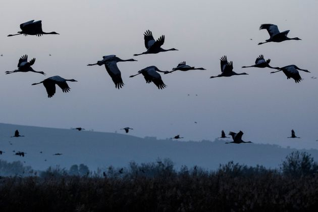 Gray cranes are seen flocking at the Agamon Hula Lake in northern Israel on Dec. 7,