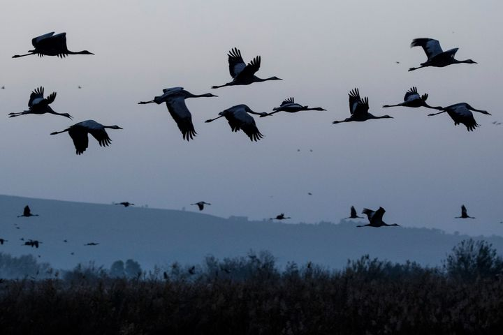 Gray cranes are seen flocking at the Agamon Hula Lake in northern Israel onDec.7, 2016.