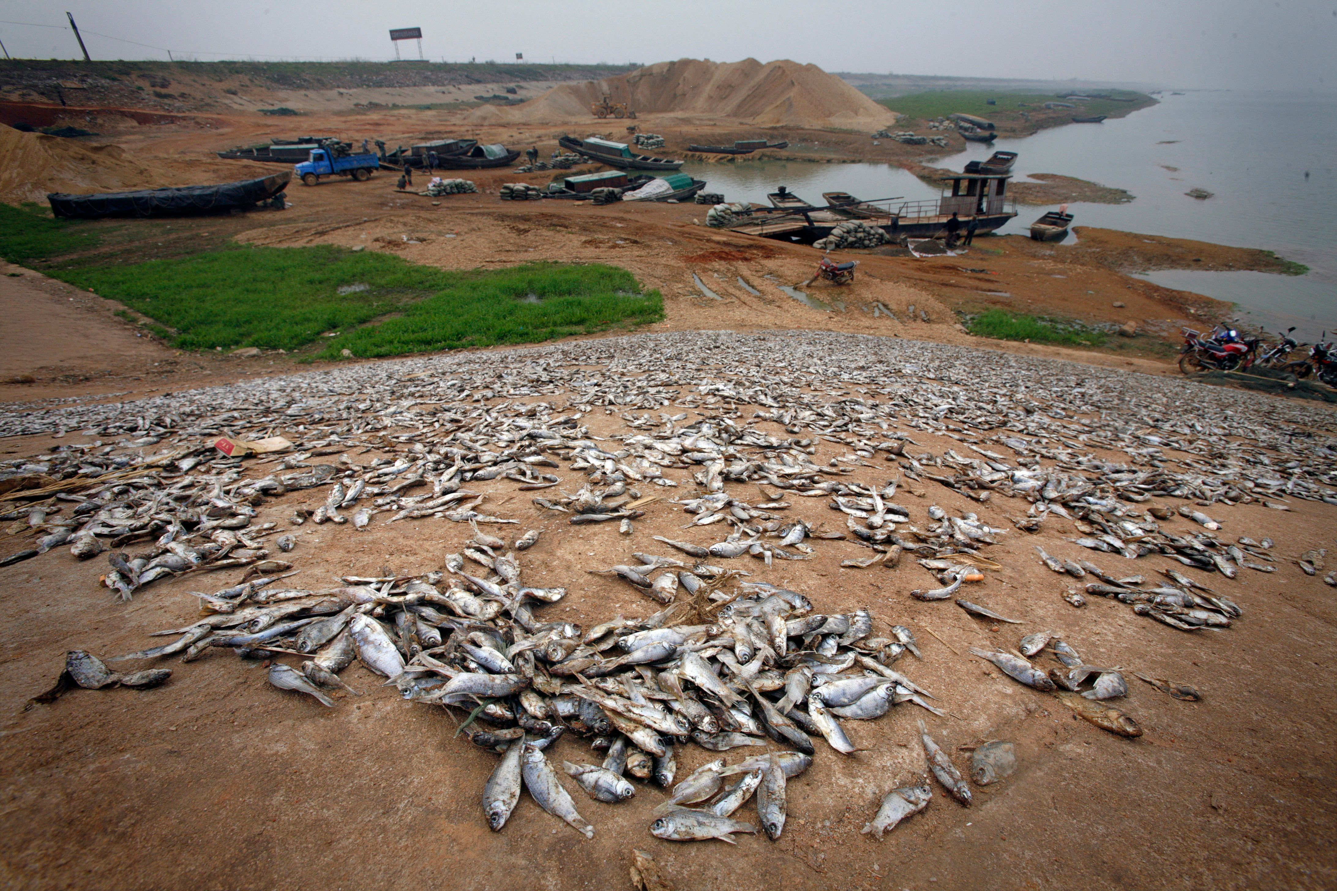 Dead fish are seen on the banks of the drought affected lake of Poyang near Yugan, Jiangxi province, March 10, 2008. Poyang Lake, the biggest freshwater lake in China and a reservoir for the Yangtze River, is suffering from a dramatic drought where the area of the lake was up to 10 times larger last year than this year's figure, the Jiangxi hydrological bureau said. The reasons for the changes in the lake are controversial, ranging from global warming to dams upstream. Meanwhile locals are suffering from a loss of income and the ecosytems of the lake have also been affected. REUTERS/Nir Elias (CHINA)
