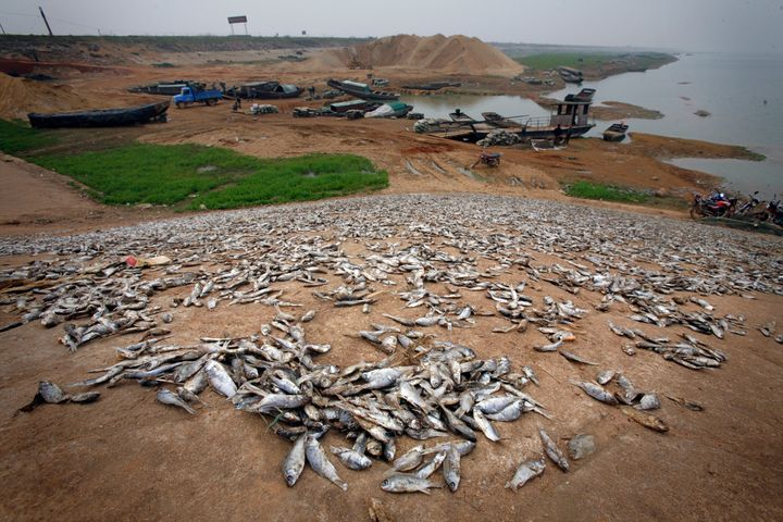 Dead fish on the banks of drought-affected Poyang Lake in 2008. One lifelong fisherman told The Guardian in 2012 that he had